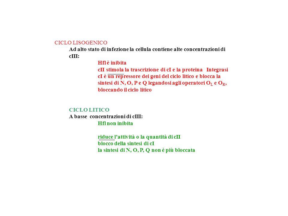 CICLO LISOGENICO Ad alto stato di infezione la cellula contiene alte concentrazioni di cIII: Hfl è inibita cII stimola la trascrizione di cI e la prot