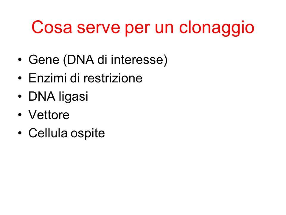 IMPACCHETTAMENTO del DNA VIRALE Il DNA virale a doppia elica entra nelle cellule batteriche durante linfezione come molecola lineare Estremità coesive Allinterno della cellula, le estremità si appaiano originando una molecola di DNA circolare Sito cos Concatameri di copie di DNA virale Cicli ripetuti di replicazione con il meccanismo del cerchio rotante Il DNA codifica per le proteine della testa e della coda del virus Il DNA viene inserito nelle teste del virus e tagliato a livello del sito cos Sono aggiunte le code Particella virale infettiva.