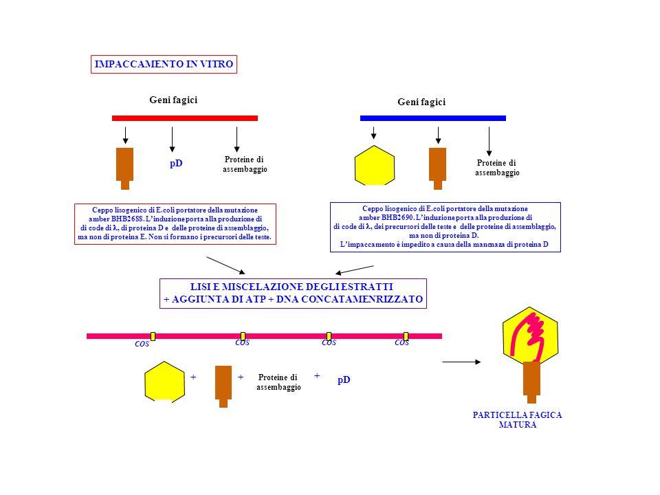 Proteine di assembaggio Proteine di assembaggio pD Geni fagici Ceppo lisogenico di E.coli portatore della mutazione amber BHB2688. Linduzione porta al