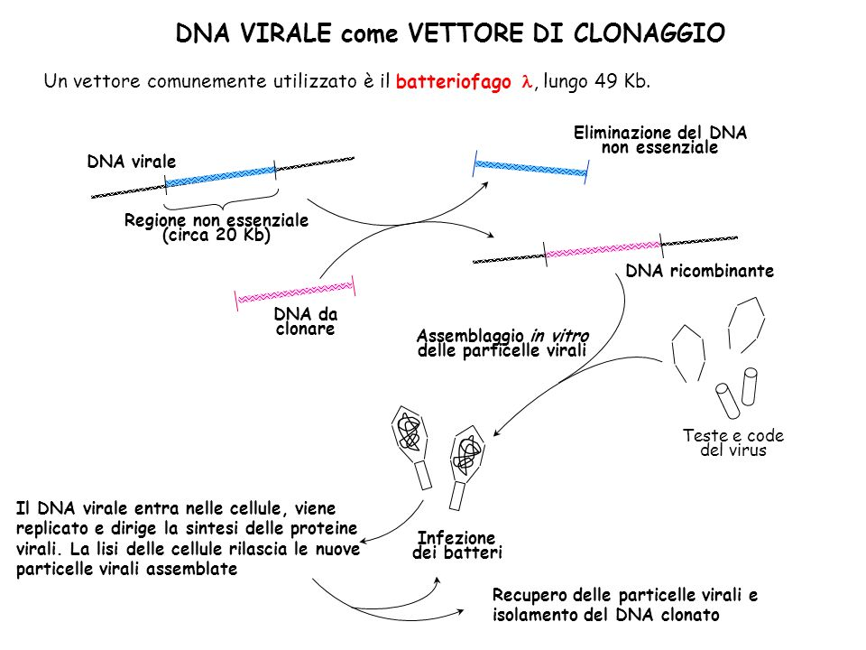 DNA VIRALE come VETTORE DI CLONAGGIO Regione non essenziale (circa 20 Kb) Eliminazione del DNA non essenziale DNA da clonare DNA ricombinante Teste e