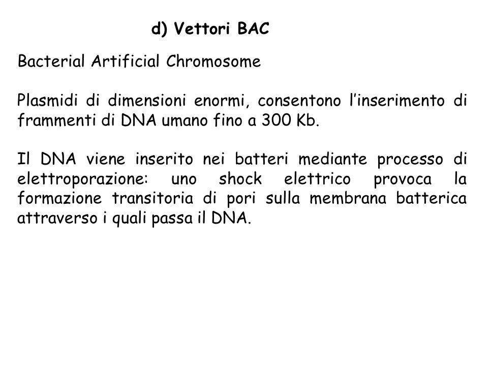 d) Vettori BAC Bacterial Artificial Chromosome Plasmidi di dimensioni enormi, consentono linserimento di frammenti di DNA umano fino a 300 Kb. Il DNA
