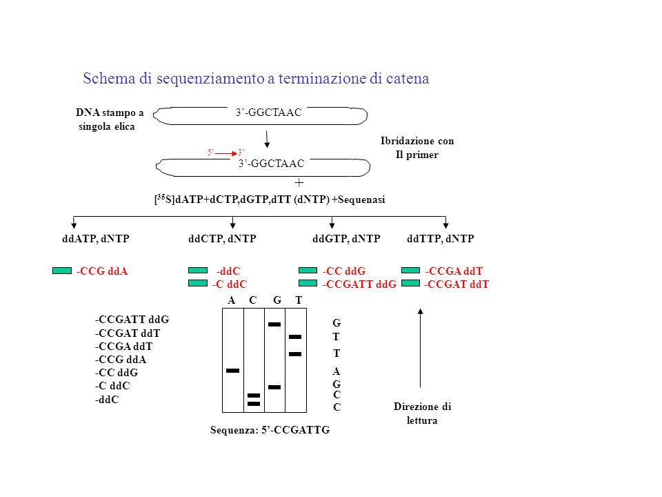 DNA stampo a singola elica 3-GGCTAAC 53 Ibridazione con Il primer + [ 35 S]dATP+dCTP,dGTP,dTT (dNTP) +Sequenasi ddATP, dNTP ddCTP, dNTP ddGTP, dNTP dd