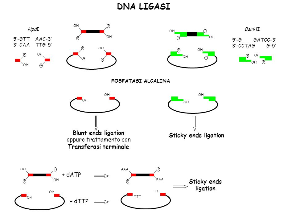 DNA LIGASI OH P P P P P P P P FOSFATASI ALCALINA OH P P BamHI 5-G GATCC-3 3-CCTAG G-5 HpaI 5-GTT AAC-3 3-CAA TTG-5 OH P P Blunt ends ligation oppure trattamento con Transferasi terminale OH Sticky ends ligation OH P P + dATP OH + dTTP AAA P P TTT Sticky ends ligation