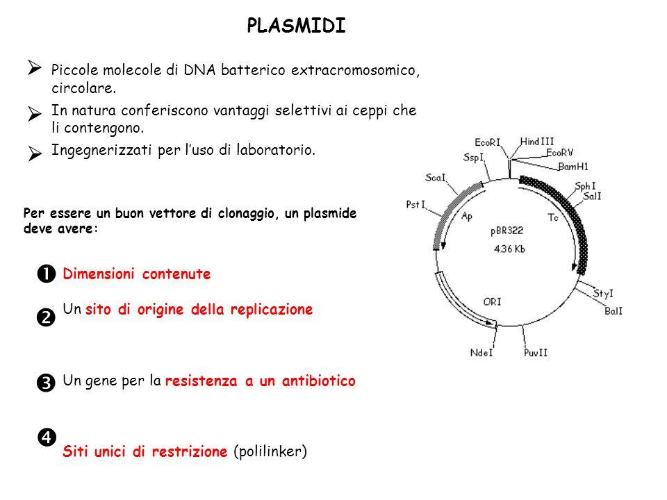 PLASMIDI Per essere un buon vettore di clonaggio, un plasmide deve avere: Dimensioni contenute Un sito di origine della replicazione Un gene per la re