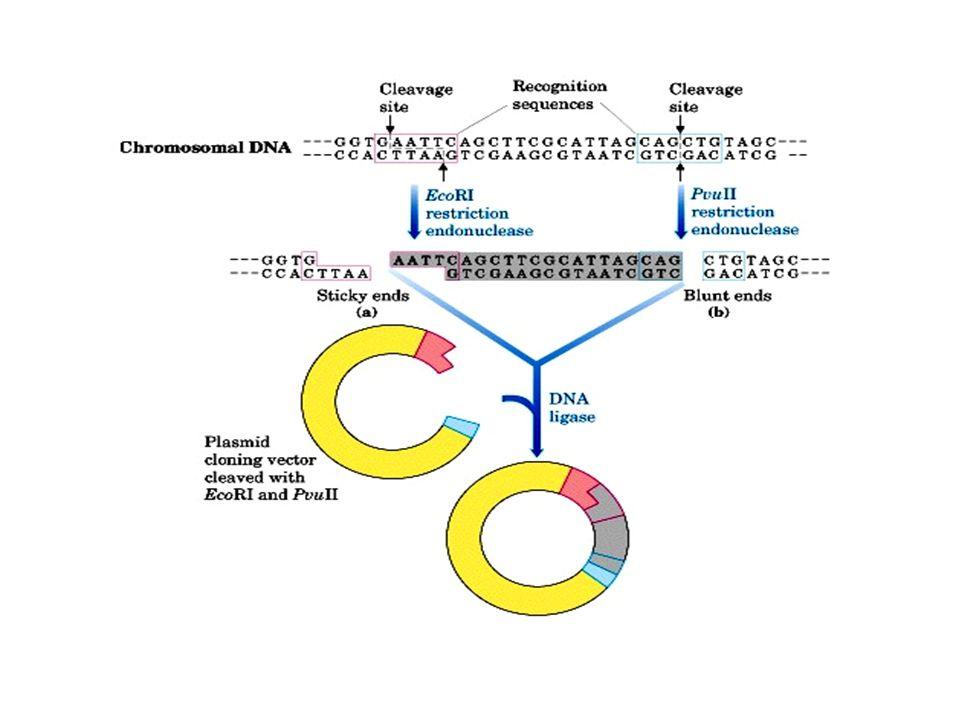 genoma di 1.85 x 10 8 bp dopo digestione, abbiamo avuto frammenti di circa 20.000 basi che possiamo clonare nel vettore opportuno.