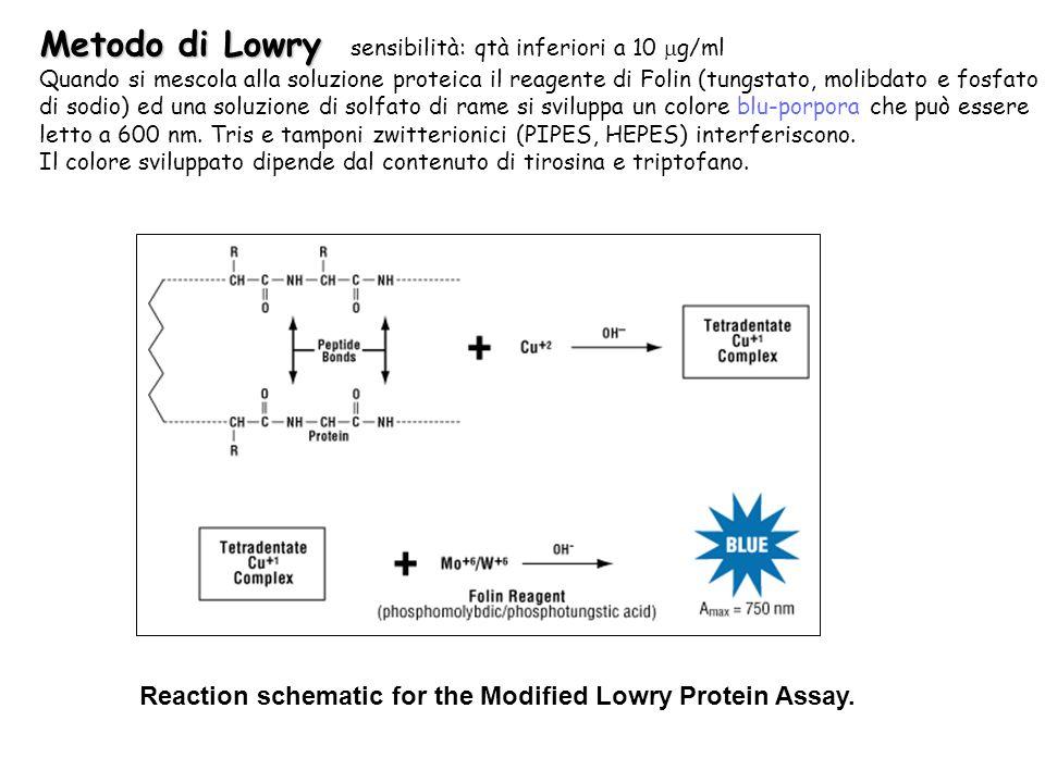 Metodo di Lowry Metodo di Lowry sensibilità: qtà inferiori a 10 g/ml Quando si mescola alla soluzione proteica il reagente di Folin (tungstato, molibdato e fosfato di sodio) ed una soluzione di solfato di rame si sviluppa un colore blu-porpora che può essere letto a 600 nm.