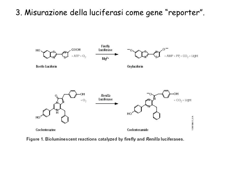 3. Misurazione della luciferasi come gene reporter.