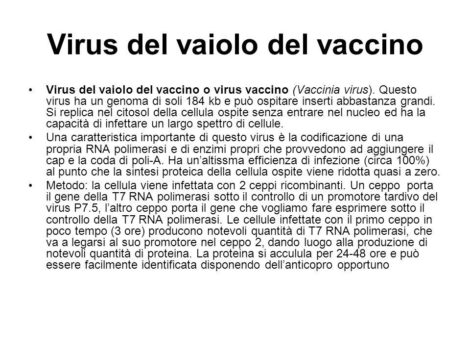 Virus del vaiolo del vaccino Virus del vaiolo del vaccino o virus vaccino (Vaccinia virus). Questo virus ha un genoma di soli 184 kb e può ospitare in