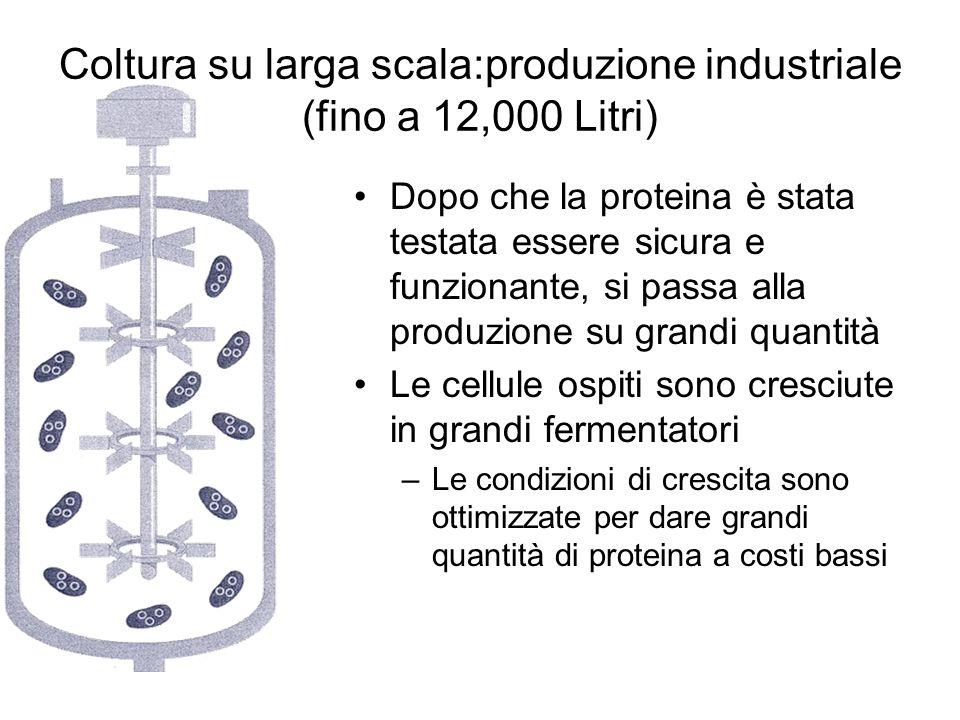 Coltura su larga scala:produzione industriale (fino a 12,000 Litri) Dopo che la proteina è stata testata essere sicura e funzionante, si passa alla pr