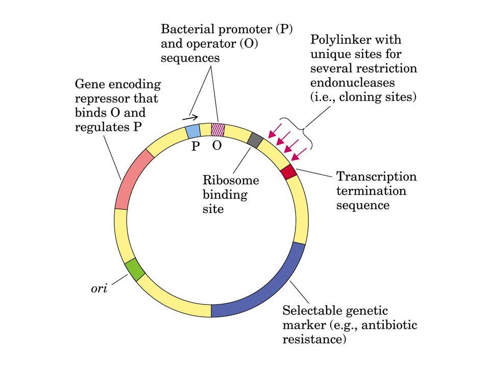 P7.5 Gene T7 Pgene 10T7 gene esog coninfezione RNA polimerasi Proteina esogena Ceppo 1 Ceppo 2