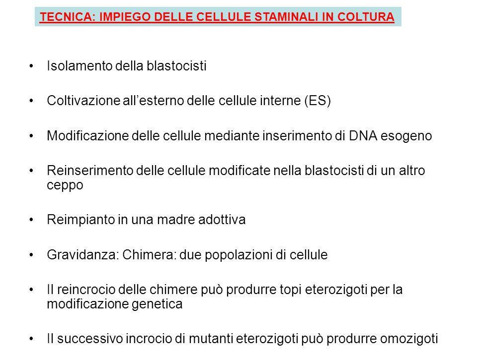 Isolamento della blastocisti Coltivazione allesterno delle cellule interne (ES) Modificazione delle cellule mediante inserimento di DNA esogeno Reinse