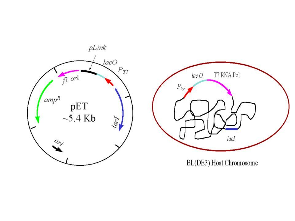 A prescindere del sistema di espressione… Stadi del processo Isolamento del gene di interesse Introduzione nel vettore di espressione Transformazione nelle cellule ospiti Crescita delle cellule in un fermentatore Isolamento e purificazione della proteina Formulazione del prodotto proteico