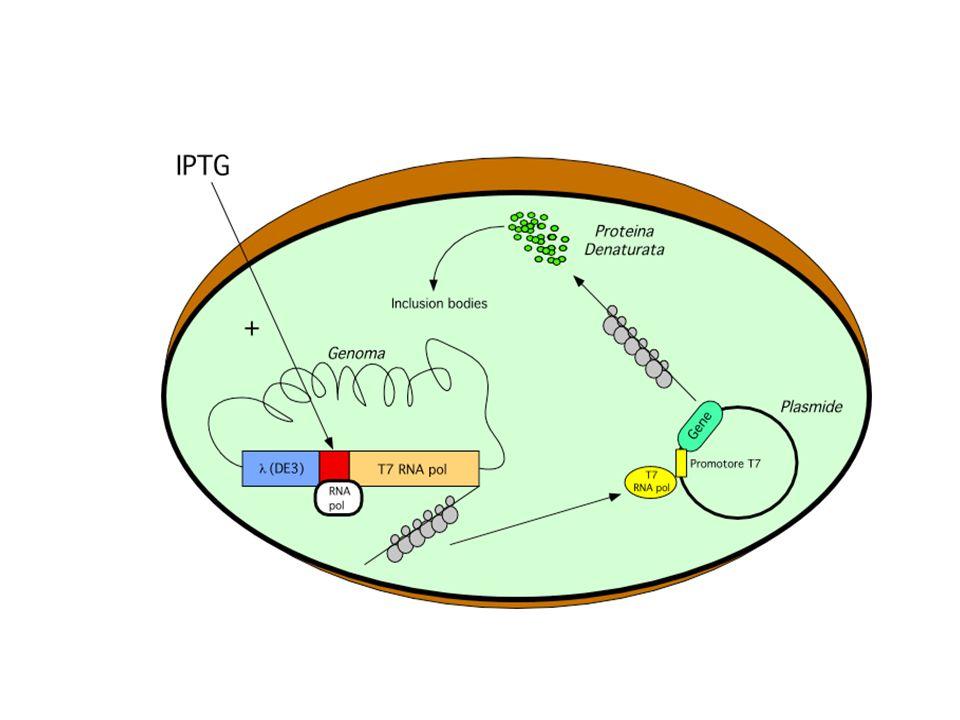 Il prodotto proteico ottenuto dalla trascrizione di un cDNA inserito in un vettore di espressione si può ottenere in procarioti: come aggregato proteico insolubile (corpi inclusi ) come proteina fusa, come proteina nativa integra.