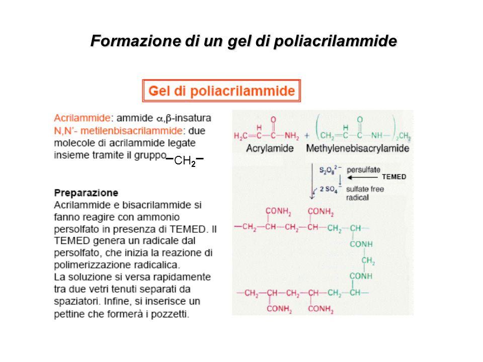 Formazione di un gel di poliacrilammide CH 2