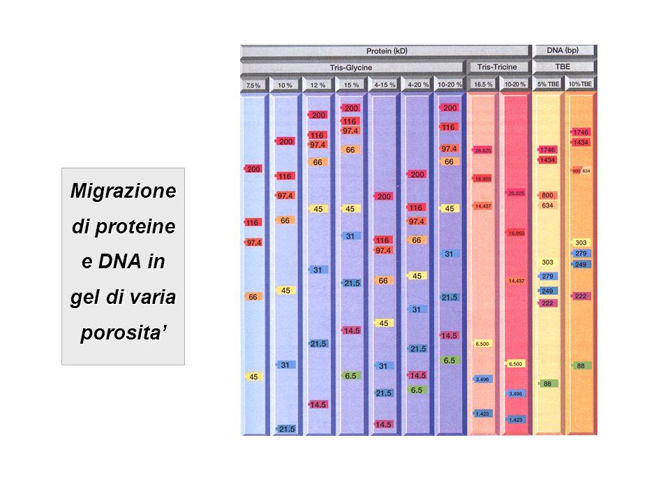 Migrazione di proteine e DNA in gel di varia porosita
