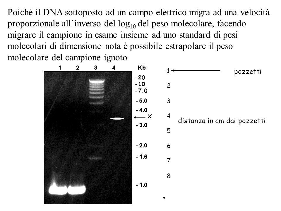 Poiché il DNA sottoposto ad un campo elettrico migra ad una velocità proporzionale allinverso del log 10 del peso molecolare, facendo migrare il campi
