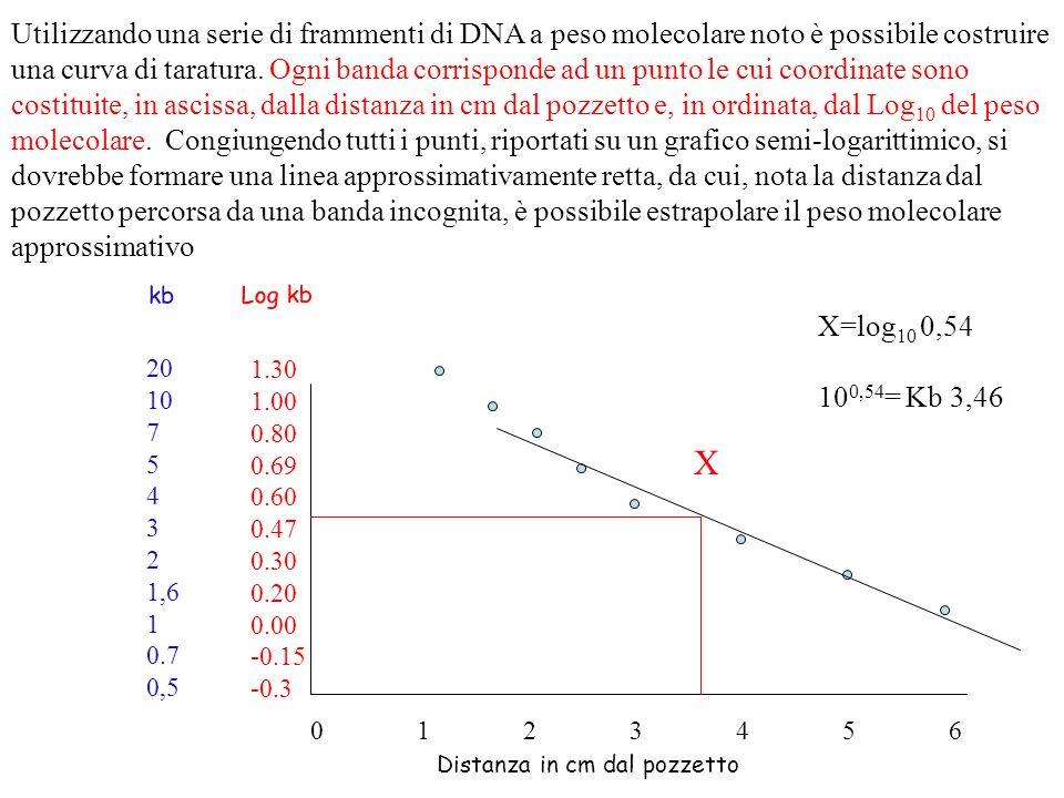 Utilizzando una serie di frammenti di DNA a peso molecolare noto è possibile costruire una curva di taratura. Ogni banda corrisponde ad un punto le cu
