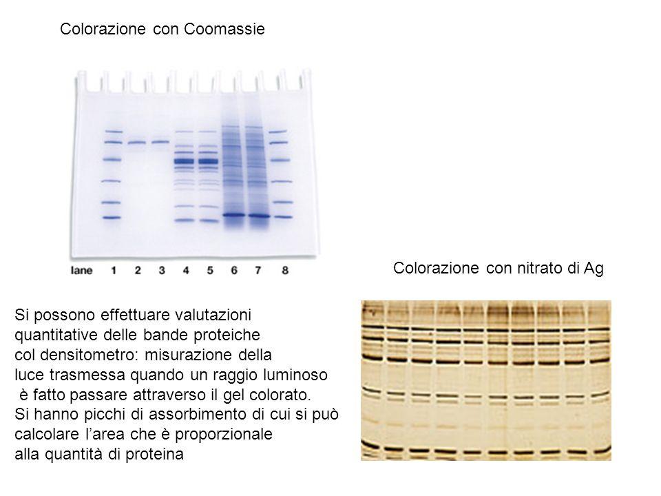 Colorazione con Coomassie Colorazione con nitrato di Ag Si possono effettuare valutazioni quantitative delle bande proteiche col densitometro: misuraz