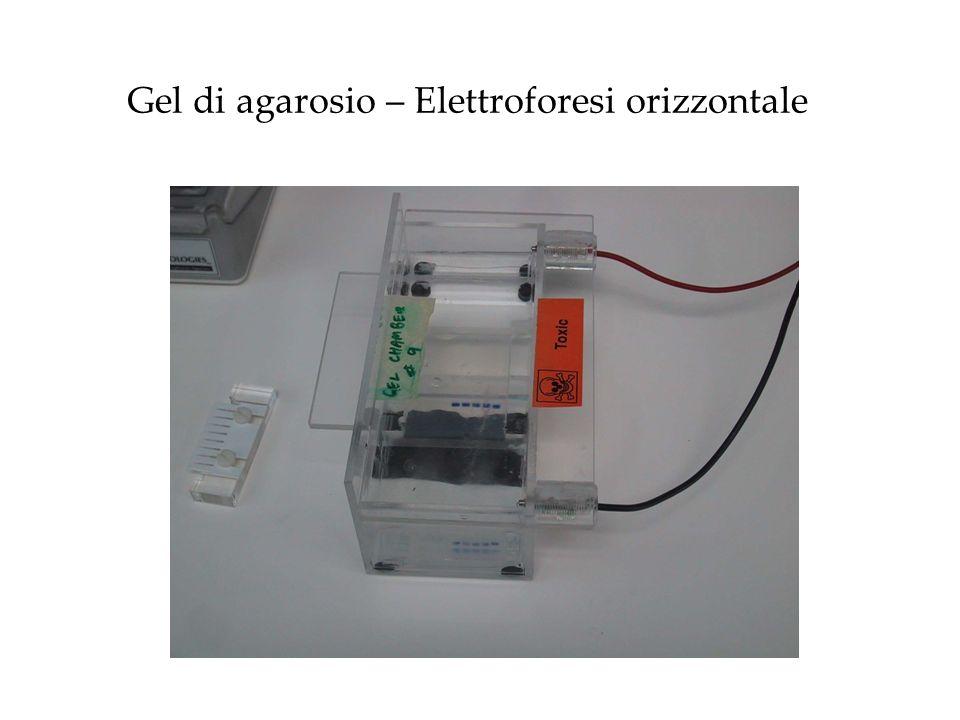 SDS-PAGE (Sodium DodecylSulfate Poly-Acrylamide Gel Electrophoresis) Permette la separazione delle proteine solo in base al peso molecolare
