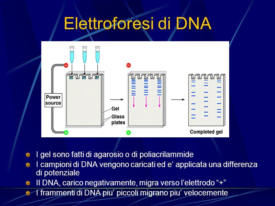 Elettroforesi di DNA I gel sono fatti di agarosio o di poliacrilammide I campioni di DNA vengono caricati ed e applicata una differenza di potenziale
