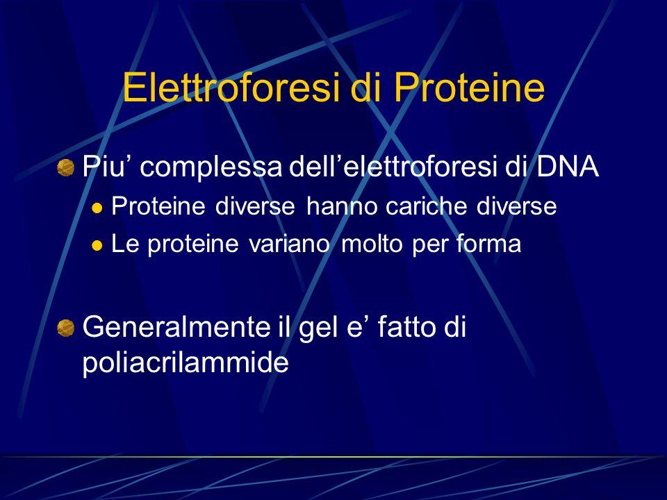 Elettroforesi di Proteine Piu complessa dellelettroforesi di DNA Proteine diverse hanno cariche diverse Le proteine variano molto per forma Generalmen