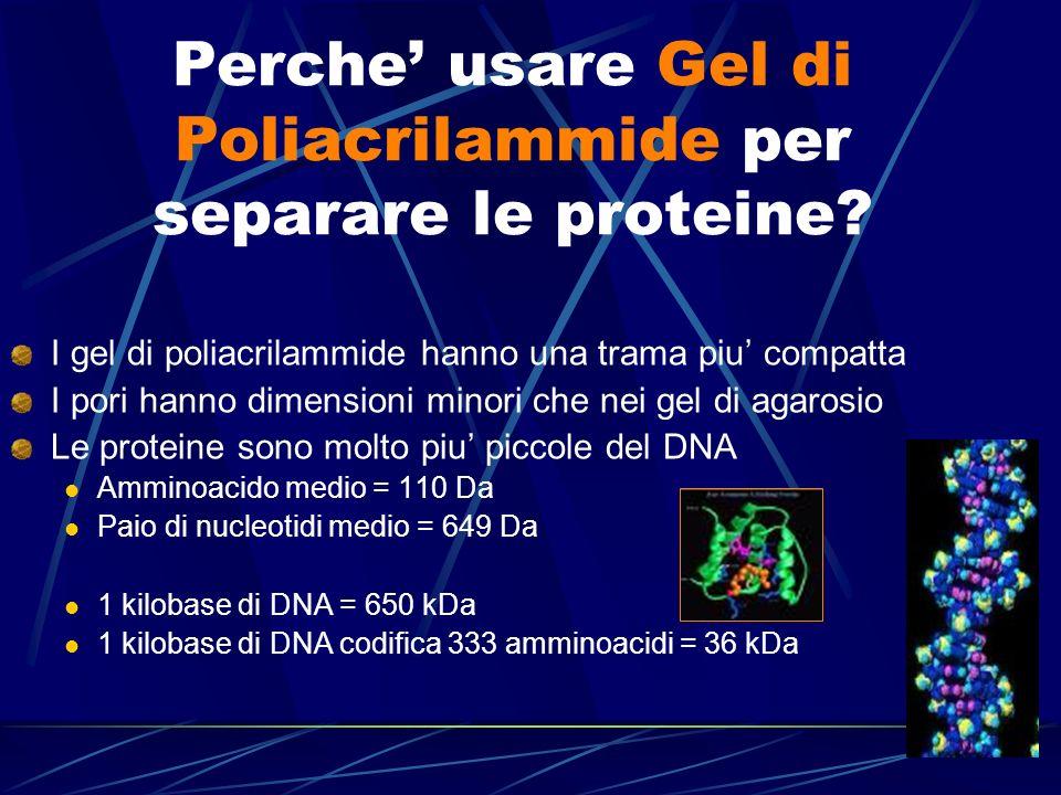 Perche usare Gel di Poliacrilammide per separare le proteine? I gel di poliacrilammide hanno una trama piu compatta I pori hanno dimensioni minori che