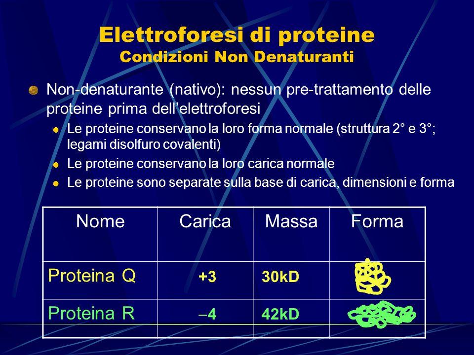Elettroforesi di proteine Condizioni Non Denaturanti Non-denaturante (nativo): nessun pre-trattamento delle proteine prima dellelettroforesi Le protei