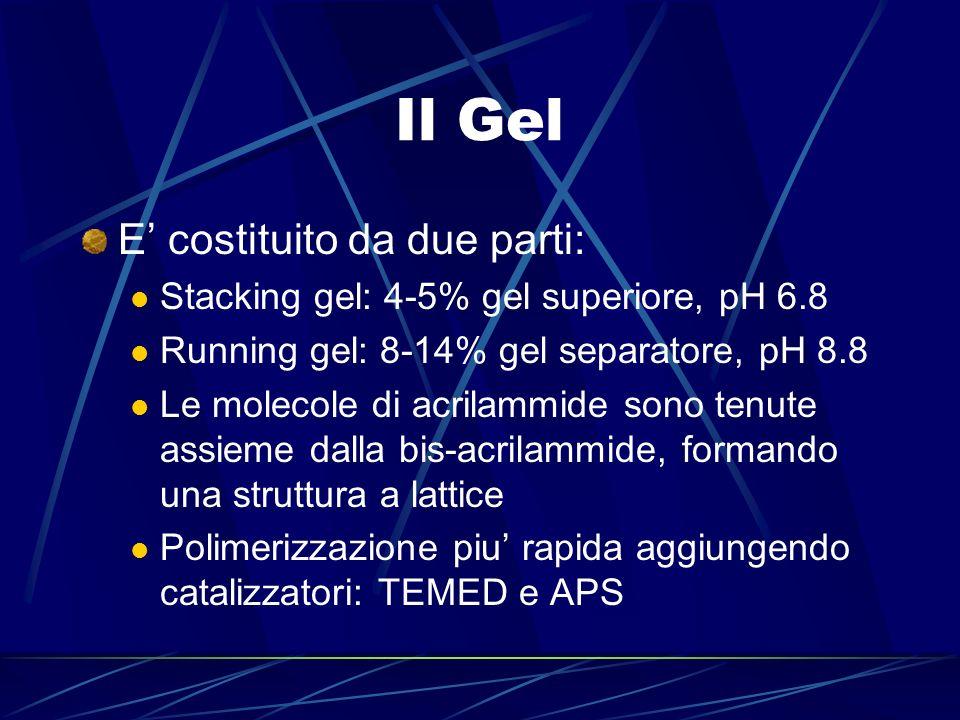 Il Gel E costituito da due parti: Stacking gel: 4-5% gel superiore, pH 6.8 Running gel: 8-14% gel separatore, pH 8.8 Le molecole di acrilammide sono t