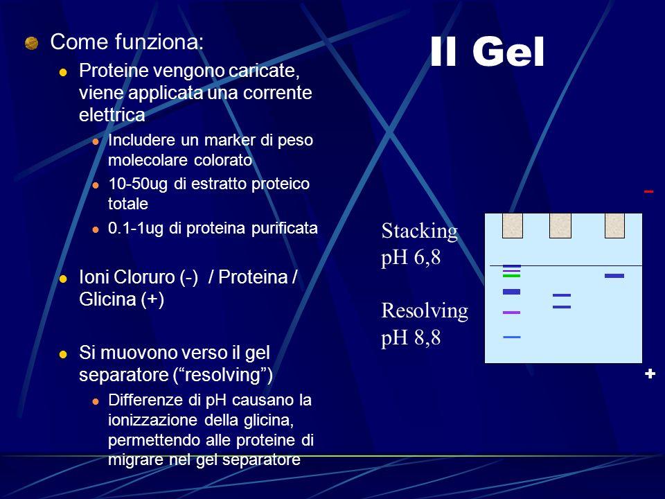 Il Gel Come funziona: Proteine vengono caricate, viene applicata una corrente elettrica Includere un marker di peso molecolare colorato 10-50ug di est