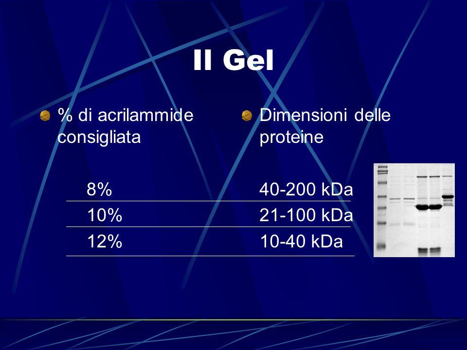 Il Gel % di acrilammide consigliata 8% 10% 12% Dimensioni delle proteine 40-200 kDa 21-100 kDa 10-40 kDa