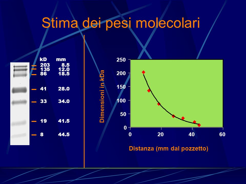 Stima dei pesi molecolari 0 50 100 150 200 250 0204060 Distanza (mm dal pozzetto) Dimensioni in kDa kD mm 2038.5 13512.0 8618.5 4128.0 3334.0 1941.5 8