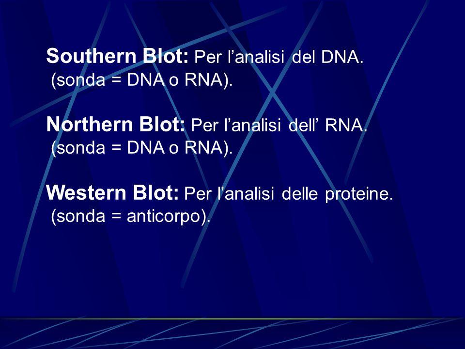 Southern Blot: Per lanalisi del DNA. (sonda = DNA o RNA). Northern Blot: Per lanalisi dell RNA. (sonda = DNA o RNA). Western Blot: Per lanalisi delle
