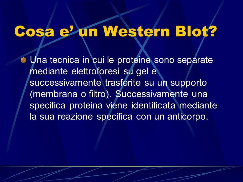 Cosa e un Western Blot? Una tecnica in cui le proteine sono separate mediante elettroforesi su gel e successivamente trasferite su un supporto (membra