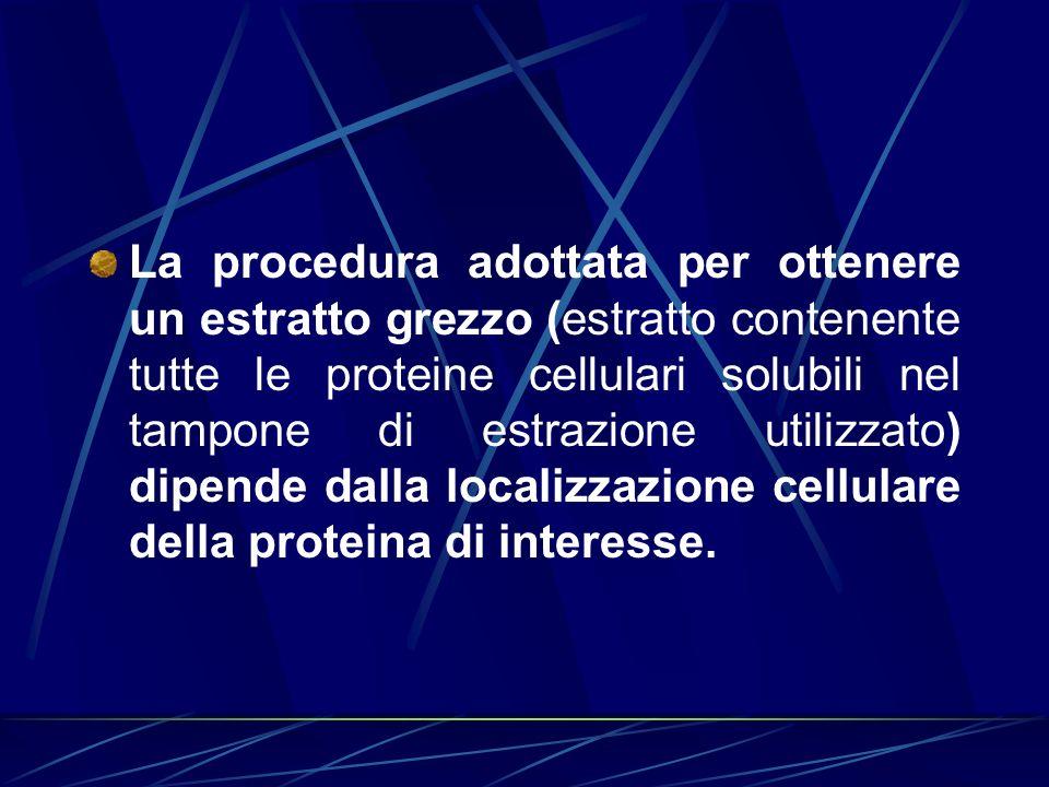 La procedura adottata per ottenere un estratto grezzo (estratto contenente tutte le proteine cellulari solubili nel tampone di estrazione utilizzato)
