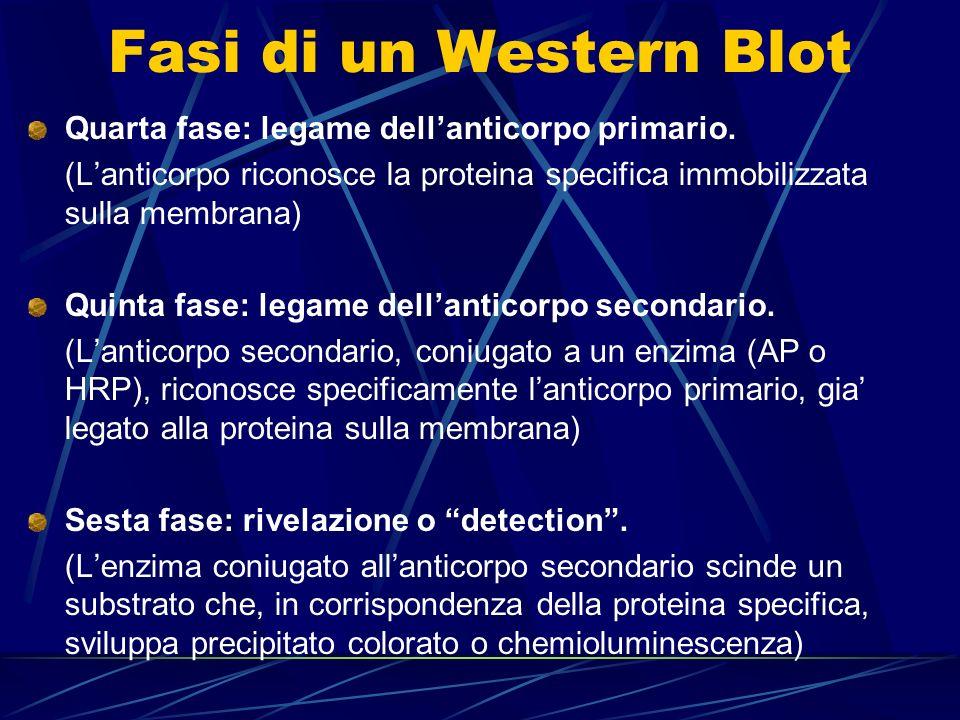 Fasi di un Western Blot Quarta fase: legame dellanticorpo primario. (Lanticorpo riconosce la proteina specifica immobilizzata sulla membrana) Quinta f