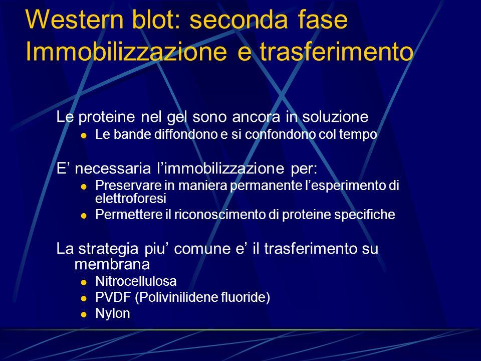Le proteine nel gel sono ancora in soluzione Le bande diffondono e si confondono col tempo E necessaria limmobilizzazione per: Preservare in maniera p