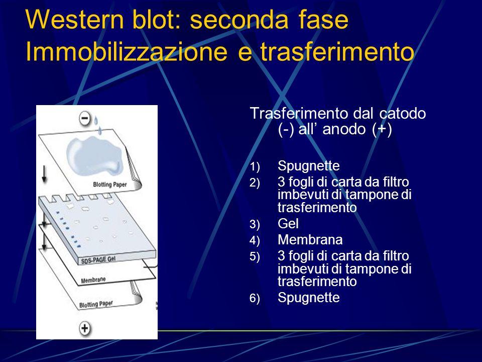 Trasferimento dal catodo (-) all anodo (+) 1) Spugnette 2) 3 fogli di carta da filtro imbevuti di tampone di trasferimento 3) Gel 4) Membrana 5) 3 fog