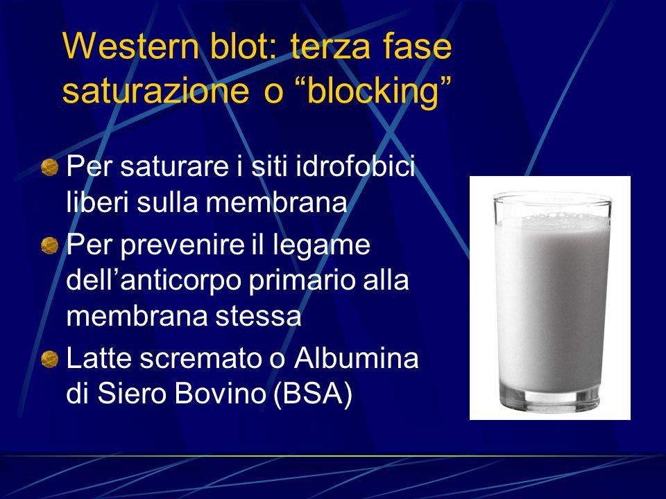 Per saturare i siti idrofobici liberi sulla membrana Per prevenire il legame dellanticorpo primario alla membrana stessa Latte scremato o Albumina di
