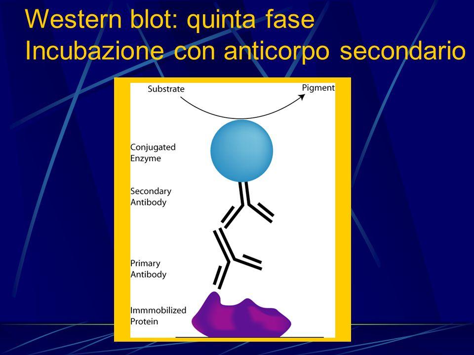 Western blot: quinta fase Incubazione con anticorpo secondario