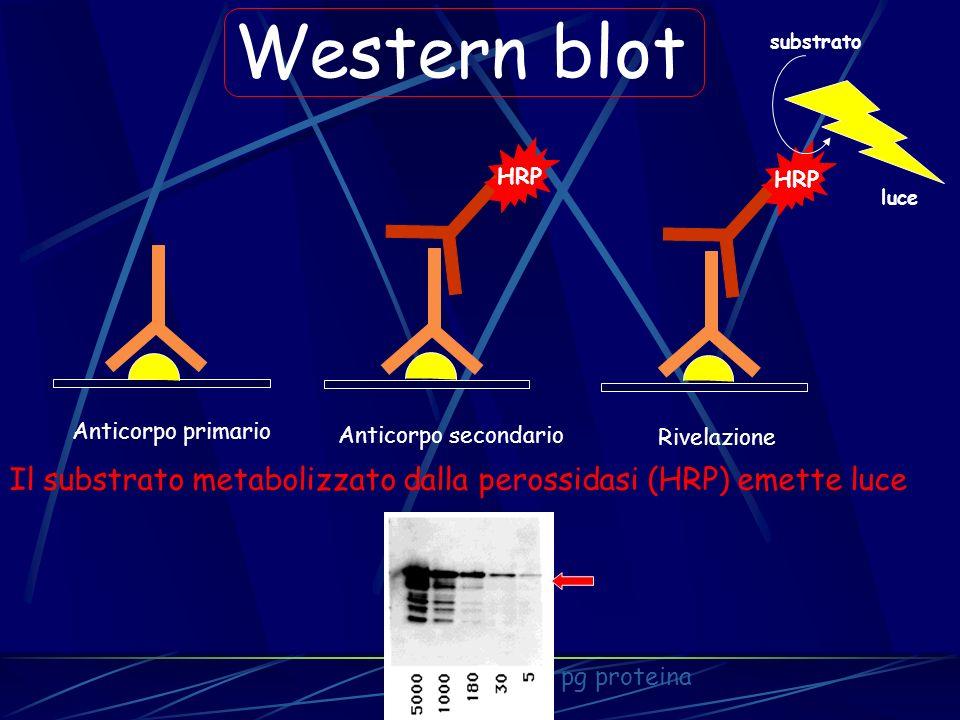 HRP Western blot HRP substrato luce Anticorpo primario Anticorpo secondario Rivelazione Il substrato metabolizzato dalla perossidasi (HRP) emette luce