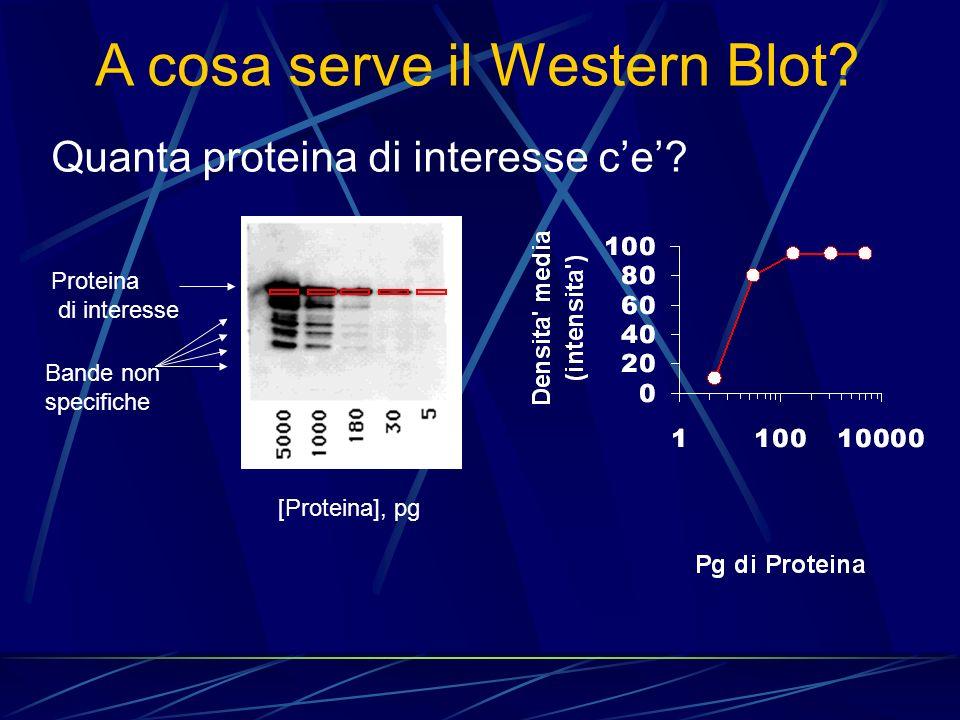 Quanta proteina di interesse ce? A cosa serve il Western Blot? Proteina di interesse Bande non specifiche [Proteina], pg