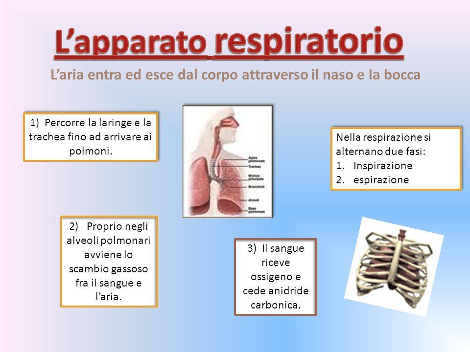 Laria entra ed esce dal corpo attraverso il naso e la bocca 1) Percorre la laringe e la trachea fino ad arrivare ai polmoni.