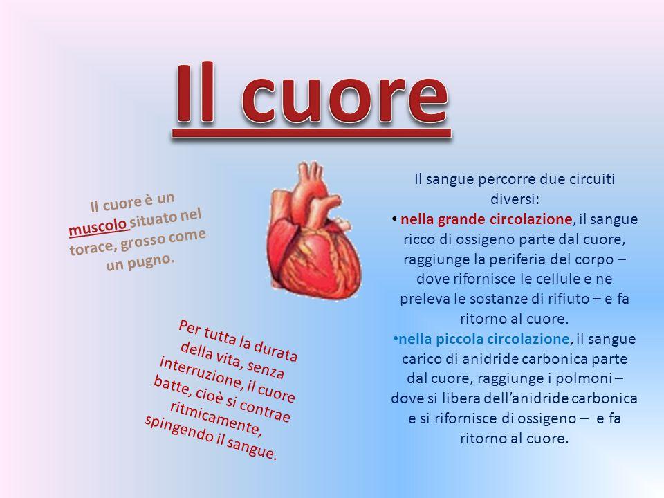 Il cuore è un muscolo situato nel torace, grosso come un pugno.