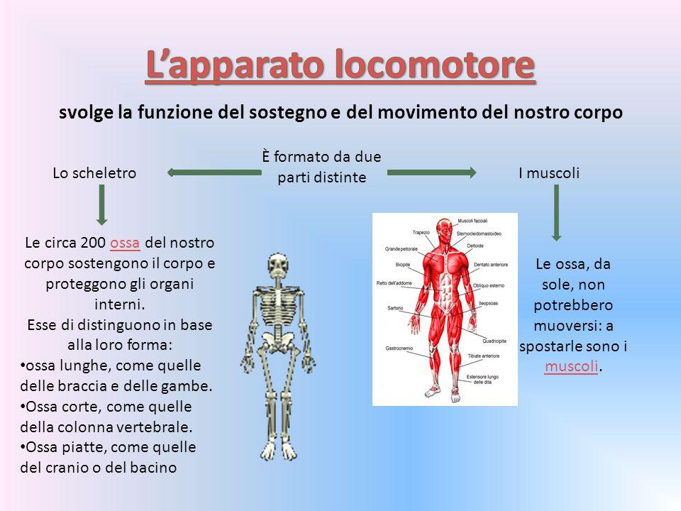 svolge la funzione del sostegno e del movimento del nostro corpo È formato da due parti distinte Lo scheletroI muscoli Le circa 200 ossa del nostro corpo sostengono il corpo e proteggono gli organi interni.ossa Esse di distinguono in base alla loro forma: ossa lunghe, come quelle delle braccia e delle gambe.