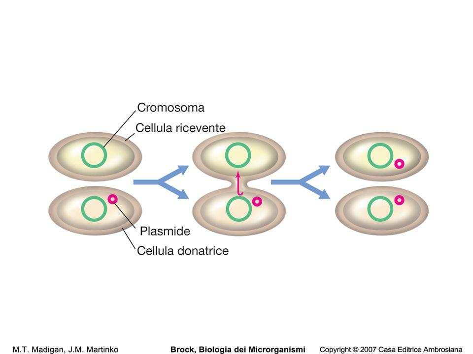 30 Vettori di clonaggio Plasmidi di piccole dimensioni facili da isolare e purificare, con capacità di replicazione autonoma, conferita anche da unorigine di replicazione autonoma.