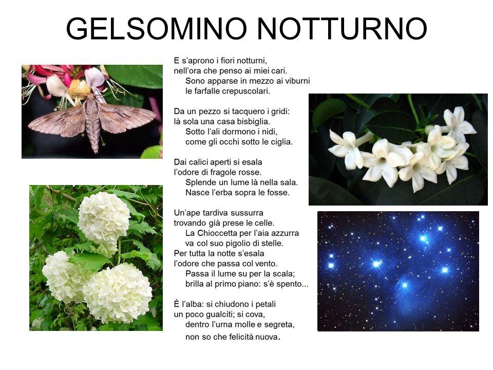 GELSOMINO NOTTURNO