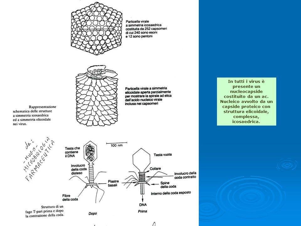 In tutti i virus è presente un nucleocapside costituito da un ac. Nucleico avvolto da un capside proteico con struttura elicoidale, complessa, icosaed