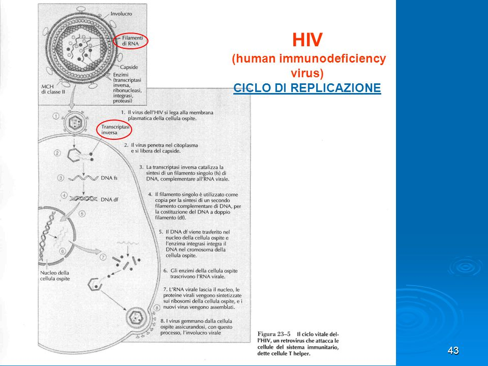 43 HIV (human immunodeficiency virus) CICLO DI REPLICAZIONE
