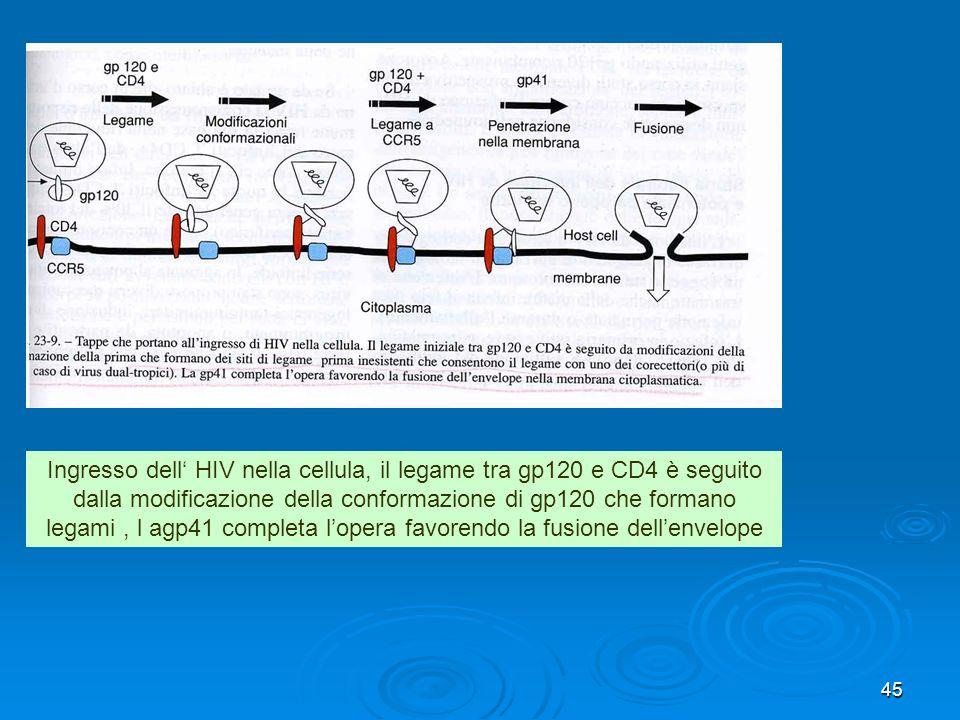 45 Ingresso dell HIV nella cellula, il legame tra gp120 e CD4 è seguito dalla modificazione della conformazione di gp120 che formano legami, l agp41 c