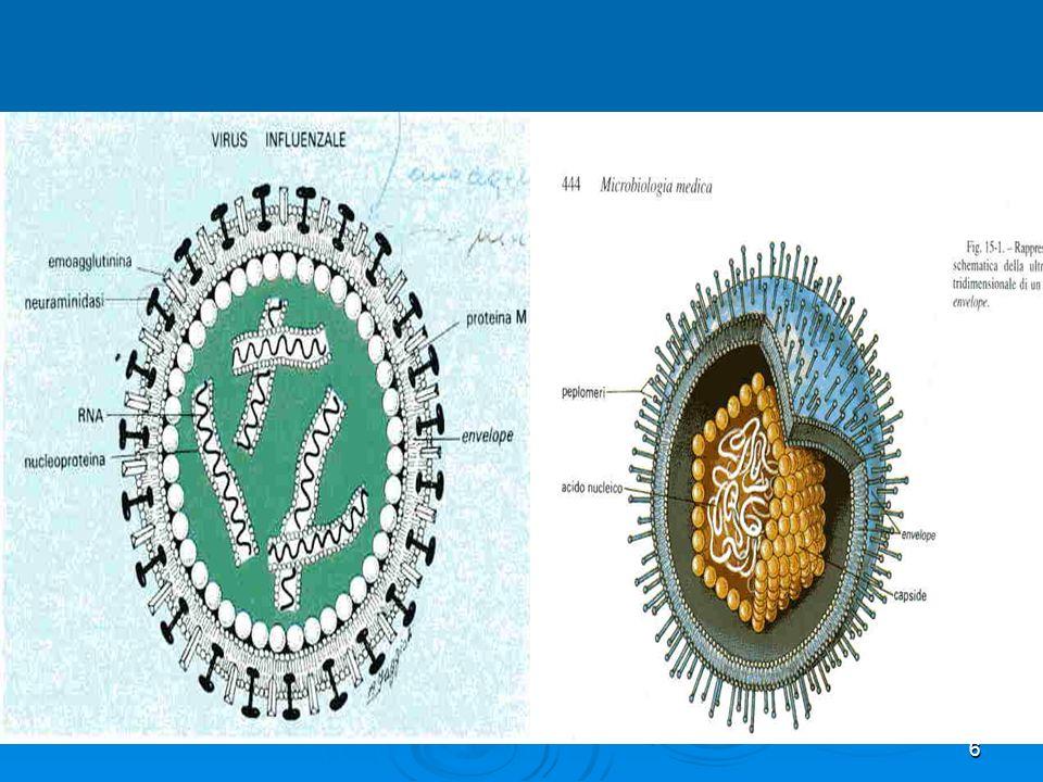 27 Le colture cellulari rappresentano attualmente il mezzo fondamentale per lisolamento e la propagazione e lidentificazione dei virus animali, con luso di metodi appropriati hanno consentito di condurre indagini sul ciclo replicativo e sulle caratteristiche genetiche dei diversi virus.